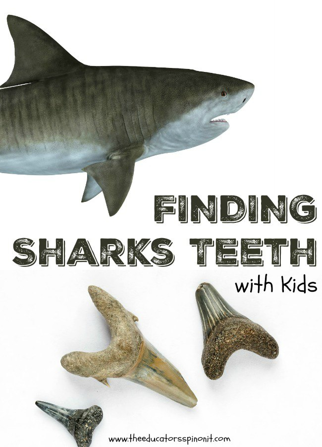 Finding Sharks Teeth