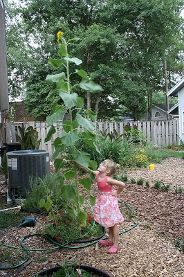 saving seeds to grow more sunflower plants