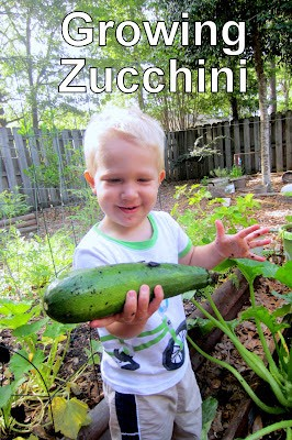 ALL about growing ZUCCHINI