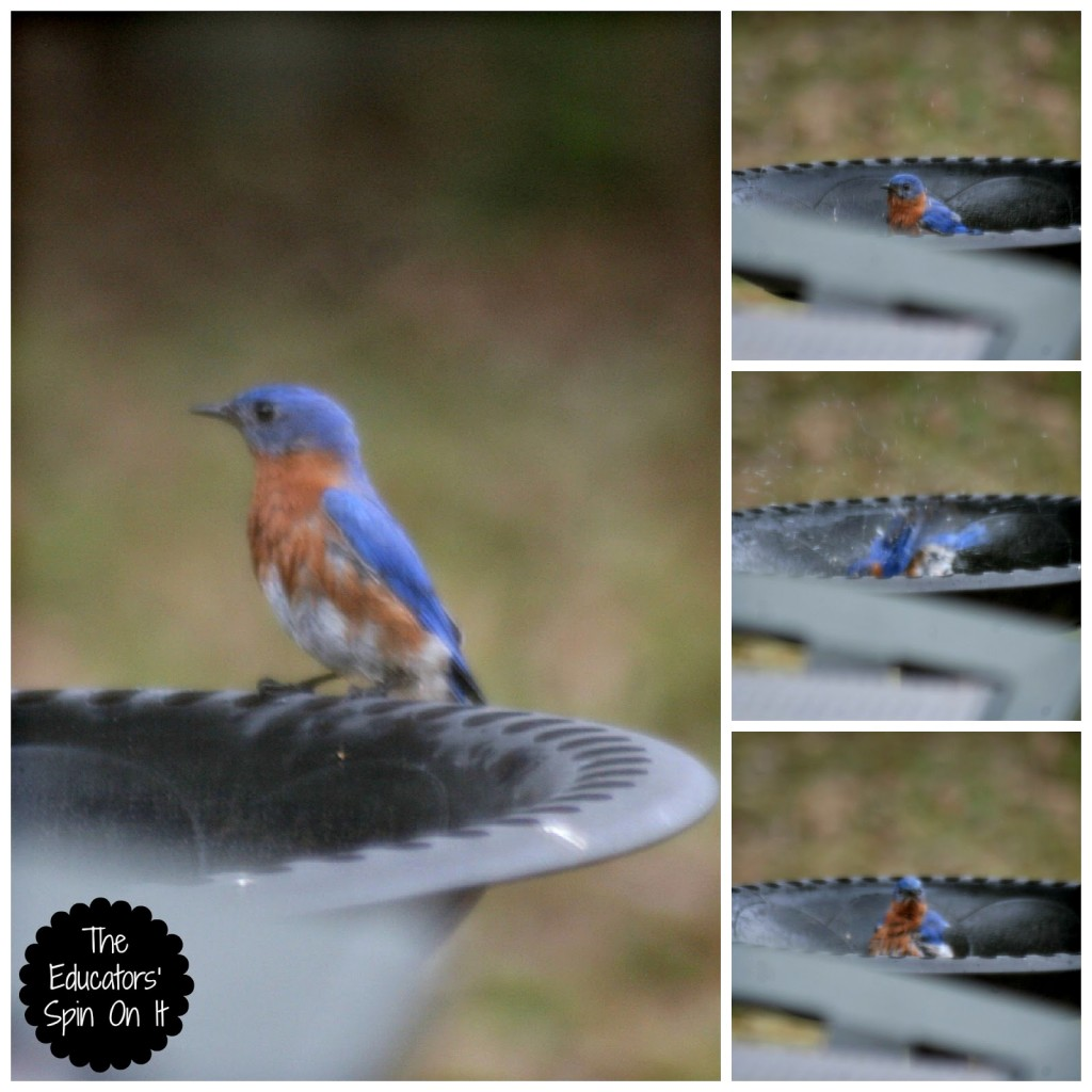 blue bird in bird bath for bird watching with kids outdoors