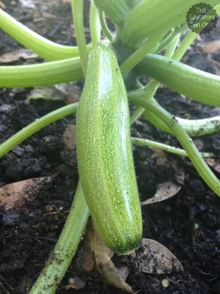 Zucchine in garden ready to be picked