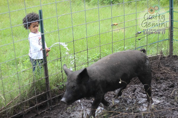 homesteading chores, watering a pig