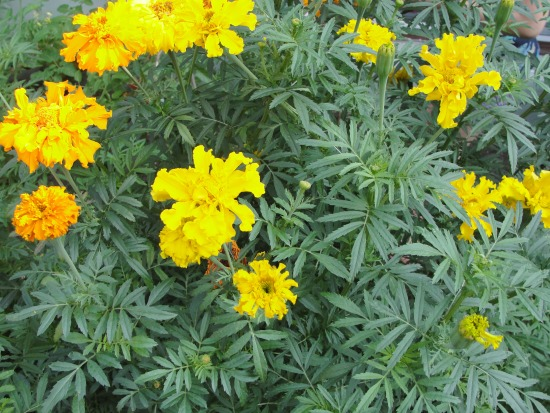 gardening marigolds with kids