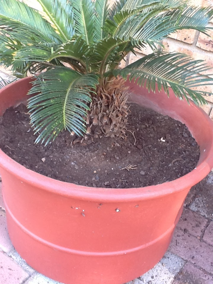 planting cycads with kids in the garden