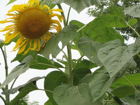 gardening sunflower with kids