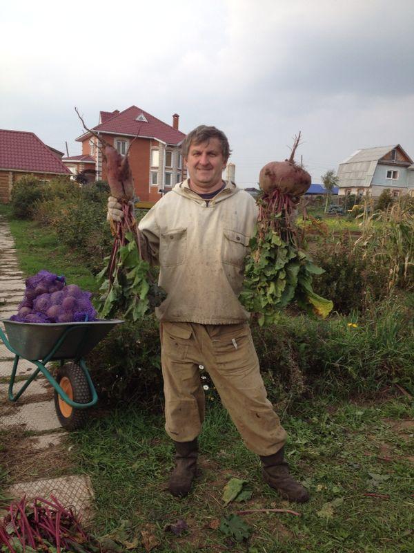 Russian Beet Harvest