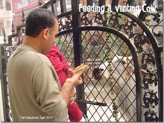 Feeding a cow