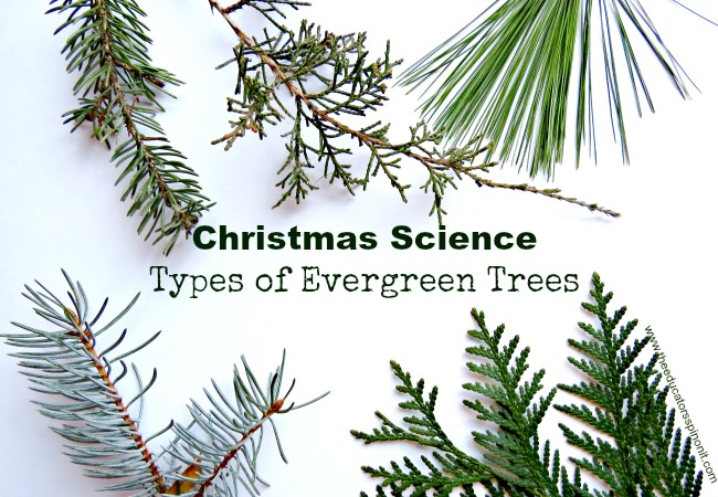 Christmas Science: Types of Evergreen Trees