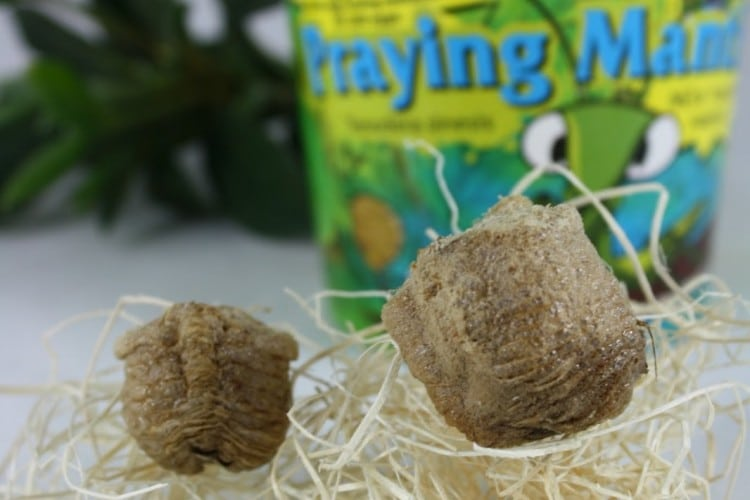 praying mantis egg cases a kit for kids to explore life cycles