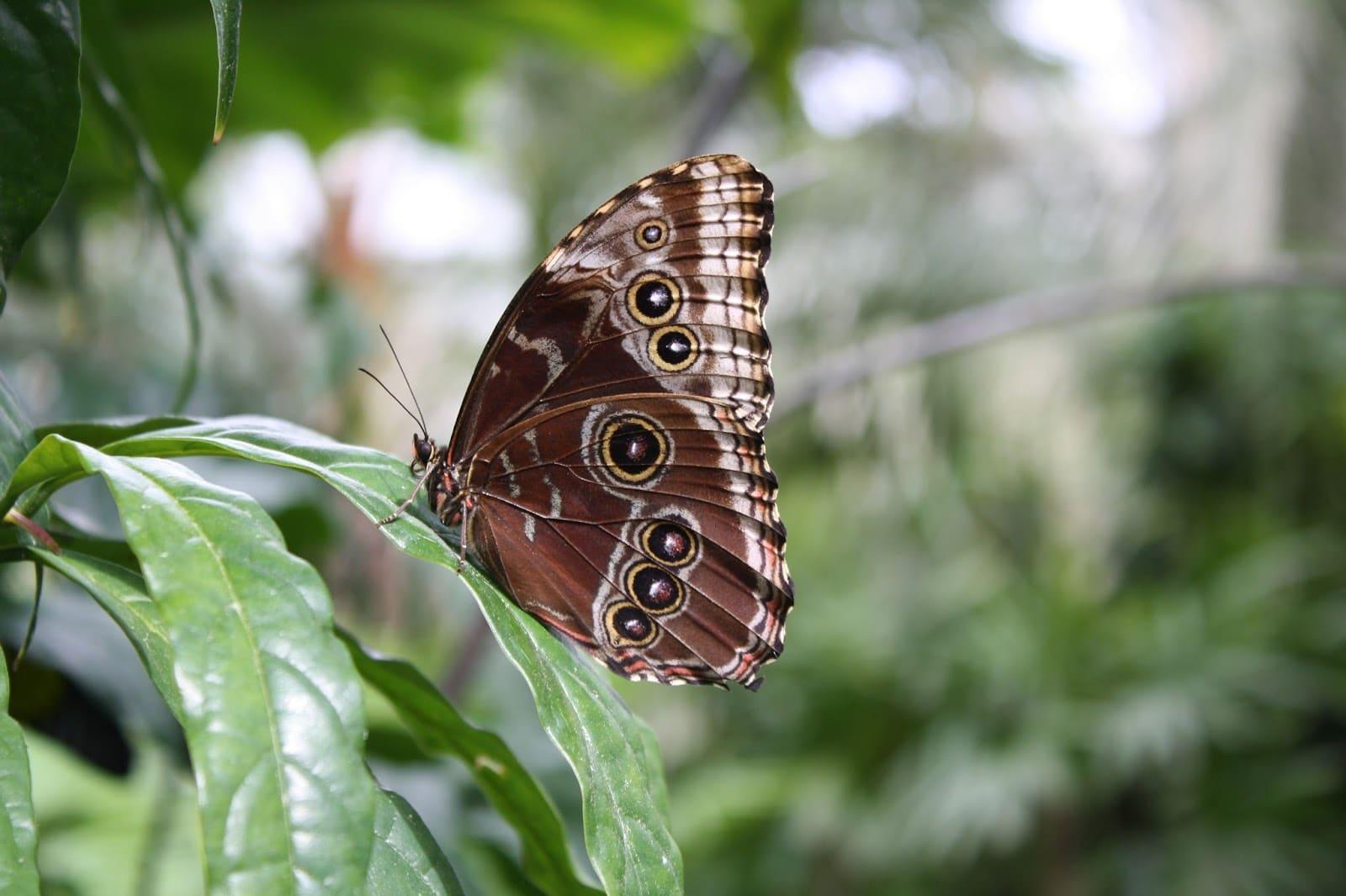 Blue morpho butterfly on leaf