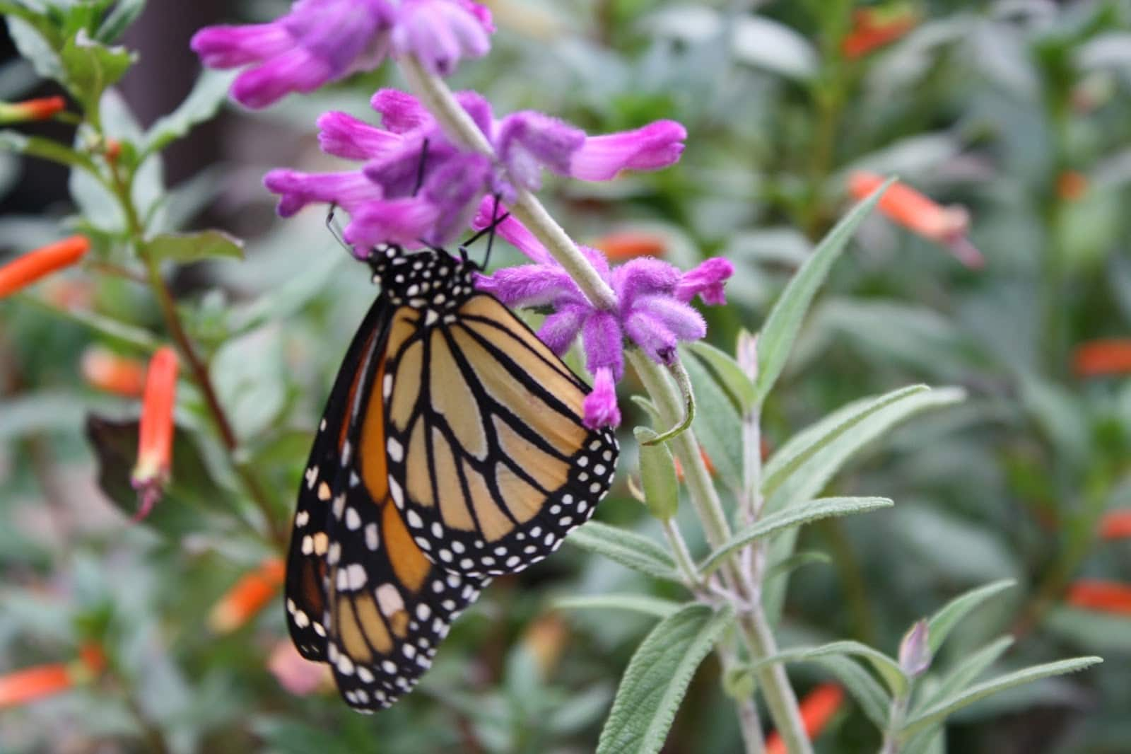 monarch butterfly on purple flowers