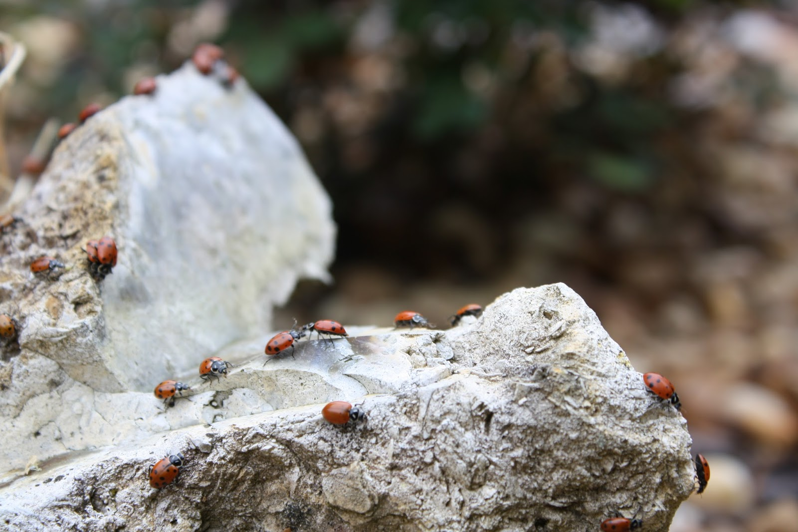 Ladybugs crawling on a rock
