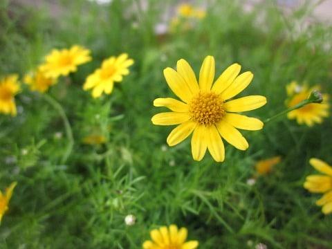 yellow spring flower in garden