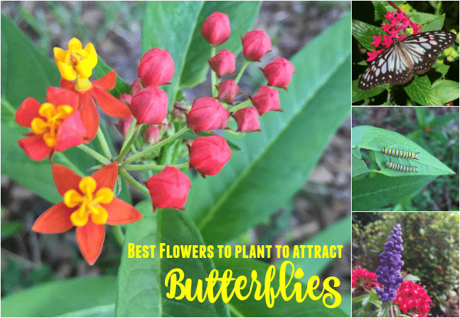 Best Flowers to Plant to Attract Butterflies