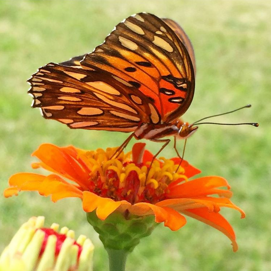 Butterflies attracted to Zinnias in Gardne