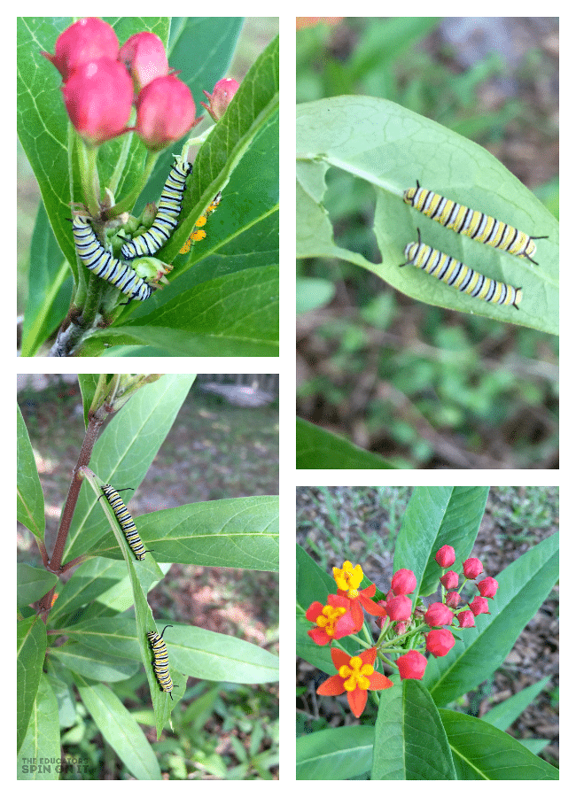 Using Milkweed with Kids to Attrach Monarch Butterflies to Garden