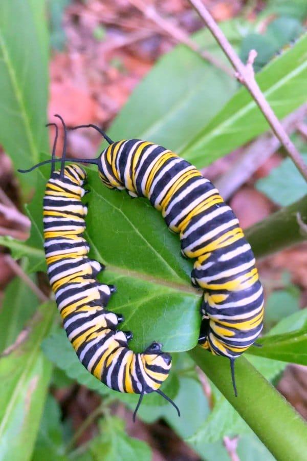 monarch butterfly caterpillars on milkweed in backyard