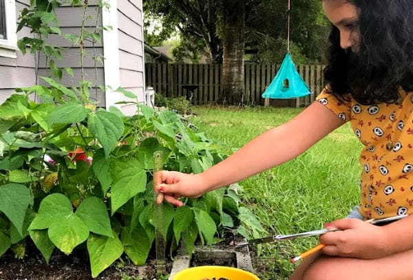 Backyard STEAM activity with beans with child holding ruler measuring bean plants
