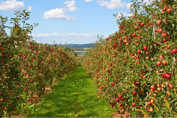 Apple Orchard Virtual Field Trip for Kids featuring Apple garden full of riped red apples
