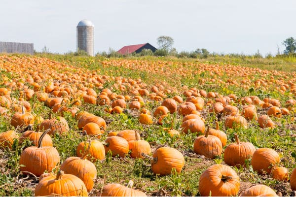 Pumpkin Patch on farm field with barn and silo in background.