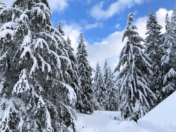Snow on ever green trees for winter virtual field trip for kids